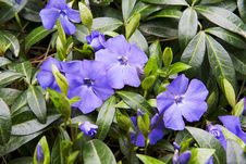Free Blue Petunia Blossoming Flowers Royalty Free Stock Photography - 30159157