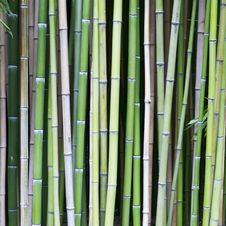 Free Bamboo Tree Wood Background Stock Image - 30159191