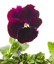 Free Close Up Of Pansy Flower Royalty Free Stock Photo - 30159275