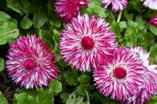 Magenta Daisy Flowers On Green Background Stock Photo