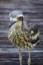 Free Bush Stone Curlew Bird Species Stock Image - 30166091