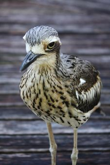 Free Bush Stone Curlew Bird Species Stock Image - 30166091