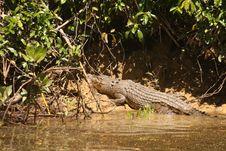 Crocodile Sunbathing Stock Images