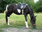 Free Black And White Pony With A Saddle Stock Images - 30160044