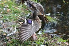 Free Duck Streching Stock Photos - 30178433
