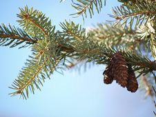 Free Pine Cones In Tree Royalty Free Stock Image - 30185256