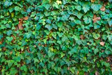 Stone Wall Covered With Leaves Royalty Free Stock Photo