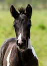 Free Young Foal Stock Photo - 30197030