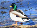 Free Male Duck Stock Photo - 30197370