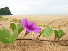 Free Pink Flower Sand On The Beach Royalty Free Stock Photography - 30191827