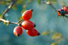 Free Red Berries Stock Photos - 30191923