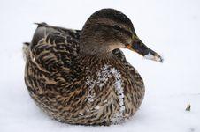 Free Duck Watching Stock Image - 30194921