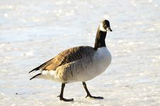 Free Canada Goose Royalty Free Stock Images - 30195319