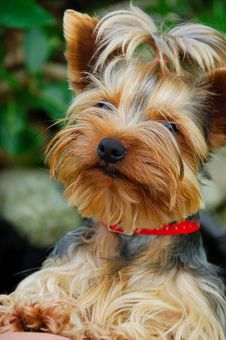 Free Yorkshire Terrier Stock Photo - 30197110
