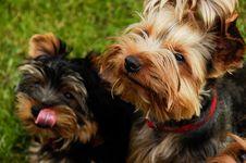 Free Yorkshire Terrier Stock Photos - 30197183