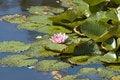 Free Pink Waterlily Lotus Flower Royalty Free Stock Image - 3020436