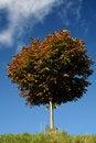 Free A Small Chestnut Tree Stock Photos - 3025363