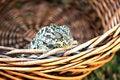 Free Chameleon Royalty Free Stock Photography - 3028607