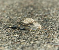 Free Horned Lizard Royalty Free Stock Photo - 3028815