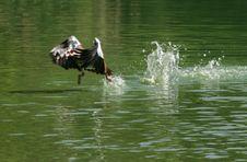 Free Fowl Stock Photo - 3020420