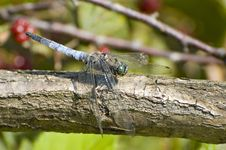 Free Blue Dragonfly Stock Images - 3020434