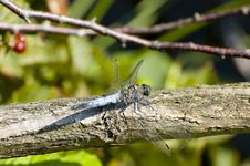 Free Blue Dragonfly Stock Photography - 3020492