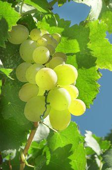 Free Vineyard Grape Royalty Free Stock Images - 3020569