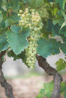 Free Vineyard Grape Royalty Free Stock Photo - 3020985
