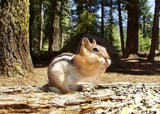 Free Chipmunk, The Uninvited Guest Stock Images - 3022094