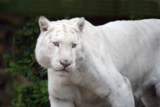 Eye Of The White Tiger Royalty Free Stock Images