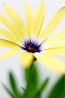 Yellow Osteospermum - Yellow Daisy Flower Stock Photos