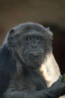 Free Black Chimpanzee Monkey Afraid Royalty Free Stock Photos - 3022508