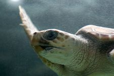 Free Turtle Swimming Stock Photos - 3022783