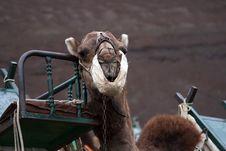 Free Camel Head Royalty Free Stock Photos - 3023148