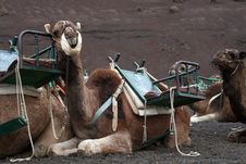 Free Camel With A Seat Royalty Free Stock Images - 3023159