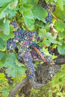 Free Vineyard Grape Royalty Free Stock Photo - 3024015