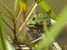 Free Frog Is Watching You Royalty Free Stock Images - 3025209