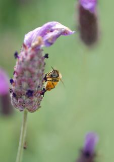 Free Honey Bee, On Tufted Vetch Stock Image - 3026041