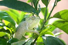 Free Chameleon Stock Photography - 3026632