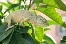 Free Chameleon Stock Images - 3026894