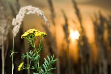Free Tansy At Sunset Stock Images - 3027124