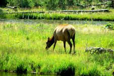 Free Female Elk Stock Image - 3027601