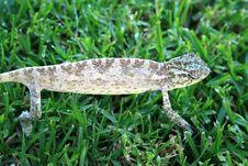 Free Chameleon Royalty Free Stock Image - 3028336