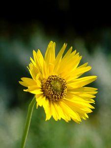 Free Yellow Corn Flower Royalty Free Stock Photography - 3028427