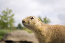 Free Prairie Dog Close Up Royalty Free Stock Photos - 3028478