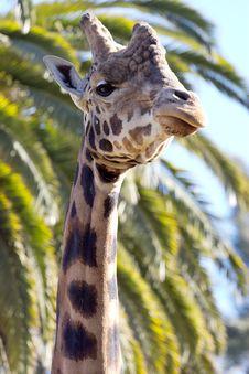 Free Giraffe Close-up Stock Photos - 3028613