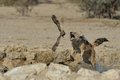 Free Jackal Chasing Sand Grouse Royalty Free Stock Image - 30200626