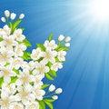 Free Blossoming Cherry Stock Photo - 30201090