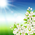 Free Flowering Cherry Stock Images - 30201094