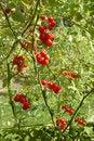 Free Growing Tomatos Royalty Free Stock Photography - 30207957